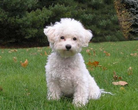 Bichón Frisé - Razas de perros mini