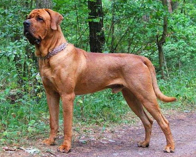 Razas de perros prohibidas en Francia - Tosa Inu