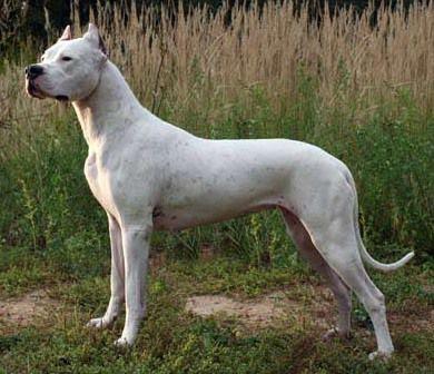 Razas de perros prohibidas en algunos países de Europa - Dogo Argentino