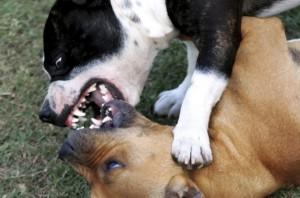 perros mordiéndose