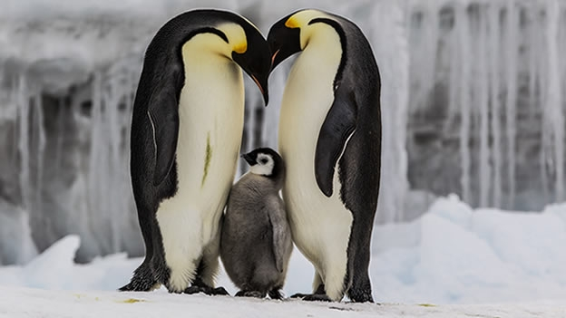 Pingüino Emperador - El espectáculo de la vida animal